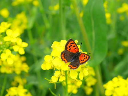 lycaena: Rape flowers and a Lycaena phlaeas