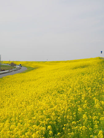 that: Rape blossoms that fill the bank Stock Photo