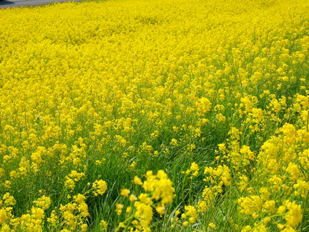 fill: Rape blossoms that fill the bank Stock Photo