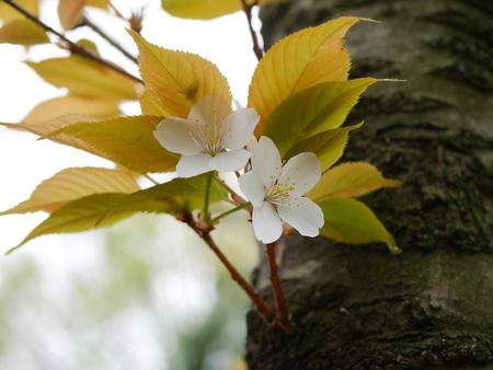 prunus: Prunus Verecunda