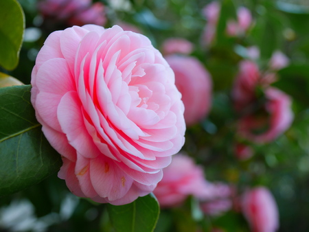 maiden: Maiden camellia Stock Photo