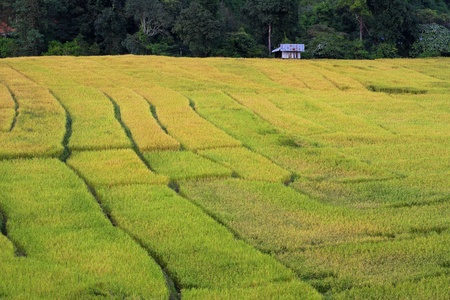 thanon: Rice filed bed in harveat season at Doi In Thanon national park, Thailand.