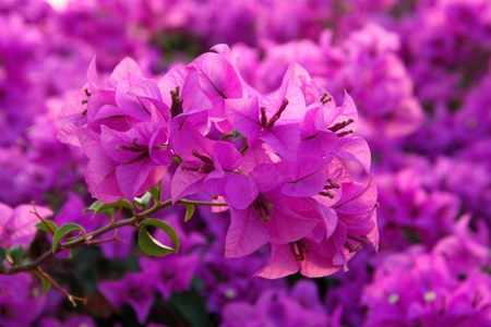 Purple bougainvillea. Stock Photo - 11546656
