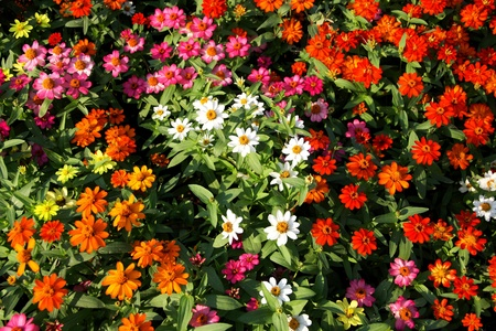 clourful of zinnia in garden Stock Photo - 11866840