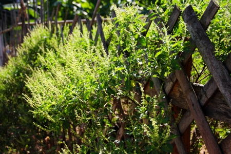 basil on wooden fence Stock Photo - 17083256