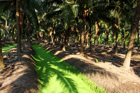 Coconut and trench, local cultivation in central of Thailand  photo