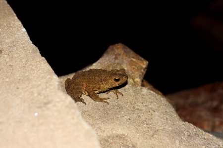 part frog: Glandular frog in cave, western part of Thailand. Stock Photo