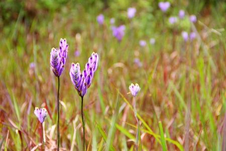 small purple flower: Burmannia Disticha, small purple flower in grassland.