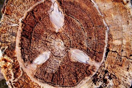 annual ring annual ring: Annual ring of tree.