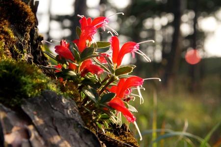 plants species: Lipstick Plant (Basketvine), una delle specie di piante subtropicali sempreverdi della famiglia Gesneriaceae.
