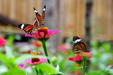 purple butterfly: Three butterfly in zinnia garden