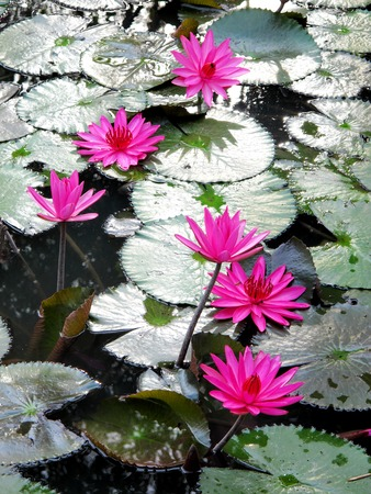 clam gardens: Pink lotus Stock Photo