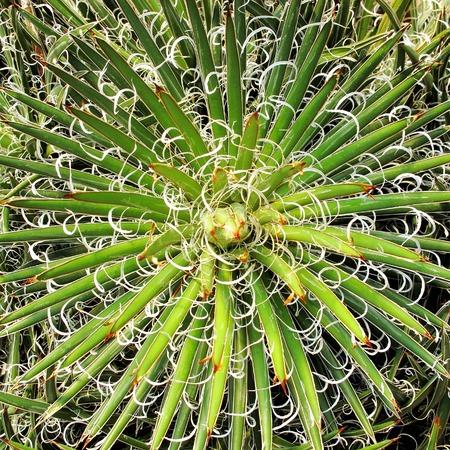 plantas del desierto: Agave, plantas del desierto.