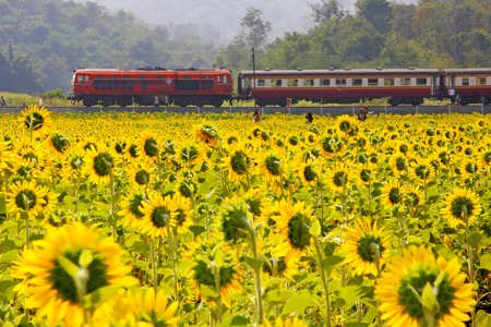 Sun flowers field and train