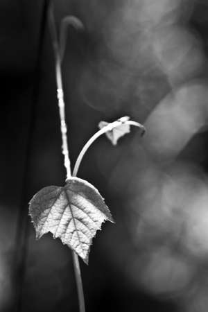 wineyard: wineyard leaf black and white