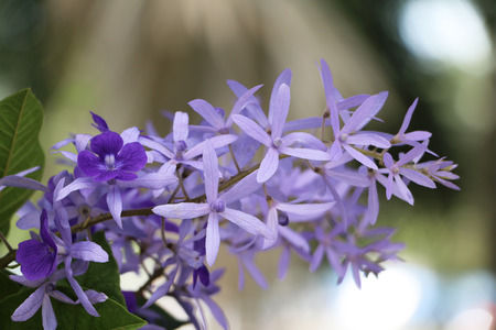 Purple Wreath, Sanpaper Vine, Queens Wreath flower. (Scientific name Petrea volubilis L.)