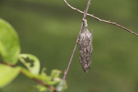 hause: Larva Psychidae