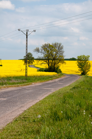 rapaseed: Field of rapeseed with asphalt road Stock Photo