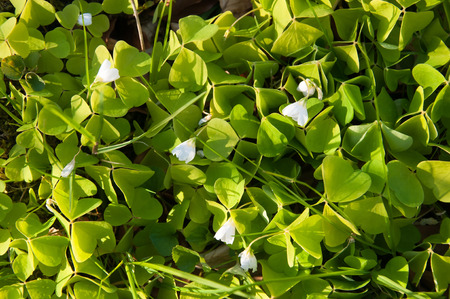 clovers: Green clovers with white flowers