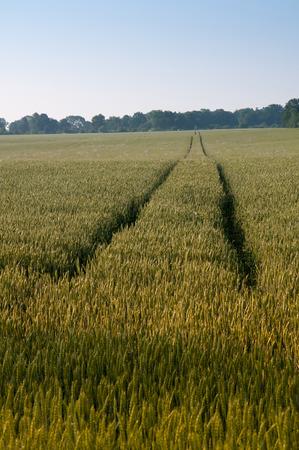 tramline: Tramline on green wheat field