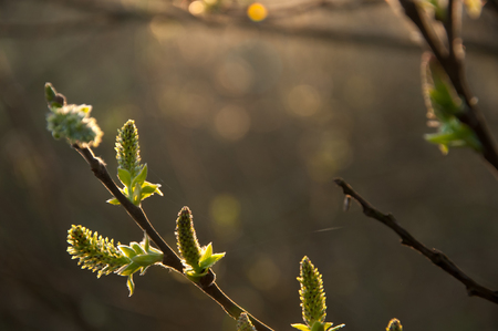great sallow: Spring shoots of willow buds