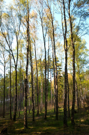birchwood: Beautiful landscape - spring birchwood