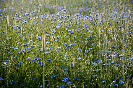 bluet: Field of blooming cornflowers Stock Photo