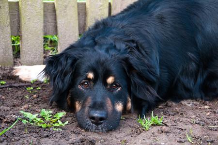 animal sad face: Lovely lonely black dog laying on the ground Stock Photo