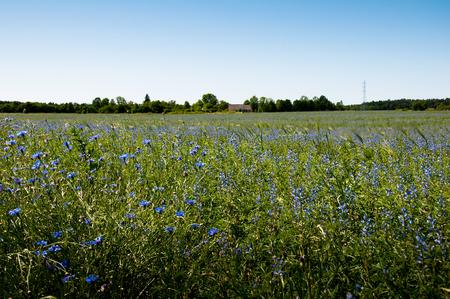 cropcircle: Field of cornflowers in spring Stock Photo