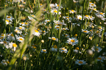 bluet: Field of camomile in spring