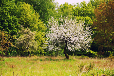 dogwood tree: White flowering tree at the edge of the forest Stock Photo