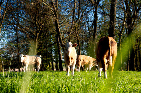 gazing: Calves gazing on a lovely green pasture Stock Photo