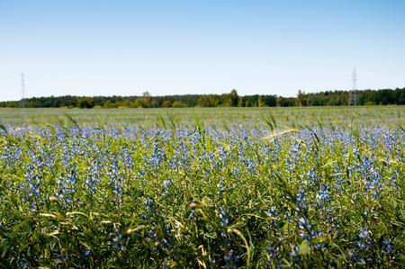cropcircle: Field of cornflowers as background