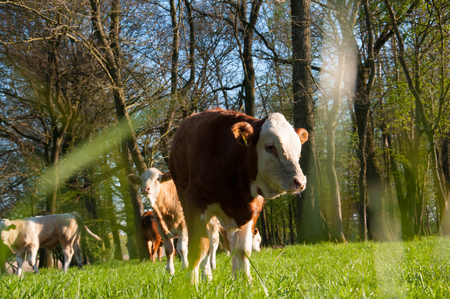gazing: Calf gazing on a lovely green pasture Stock Photo