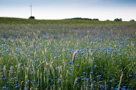 bluet: Field of cornflowers Stock Photo