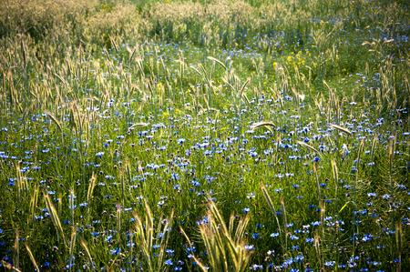 bluet: Field of cornflowers in spring Stock Photo