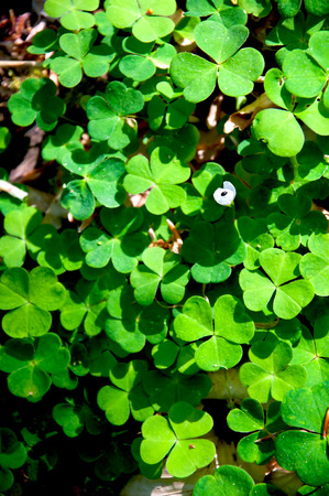 luckiness: Green clover leaf background