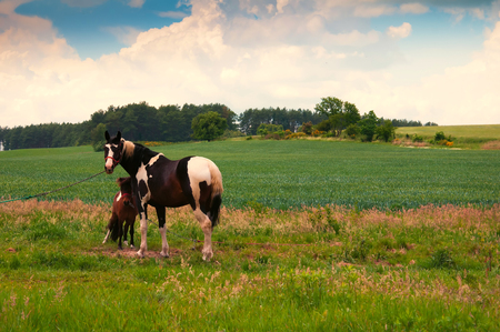 mare and foal: Foal with a mare on a summer pasture Stock Photo