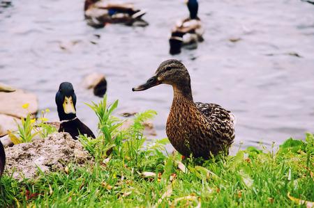 color image mallard duck: Ducks in city park Stock Photo