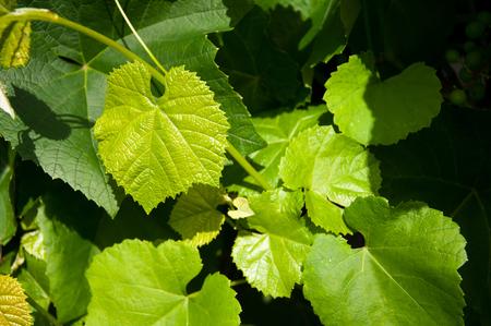 hojas parra: Fondo verde las hojas de vid