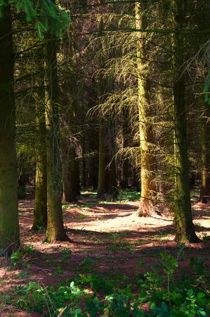coniferous: Beautiful green coniferous forest