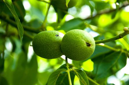 walnut tree: Walnut tree branches in garden