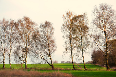 birch trees: Line of birch trees