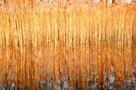 Texture of dry reeds
