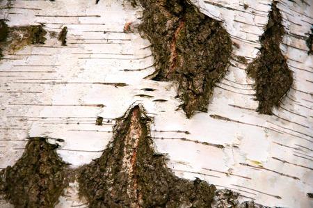 birchen: Natural background birch bark