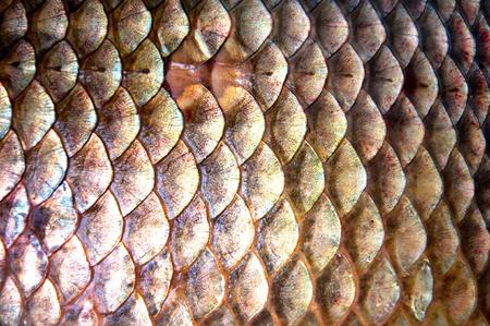 escamas de peces: escamas de los peces de fondo (Prusia carpa)