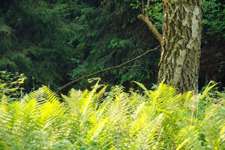 polypodiaceae: Fern in the forest on background of sunlight Stock Photo
