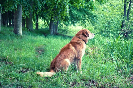 domesticated: Domesticated ore mixed dog in forest