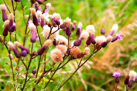 thistle plant: Milk Thistle plant (Silybum marianum) Stock Photo