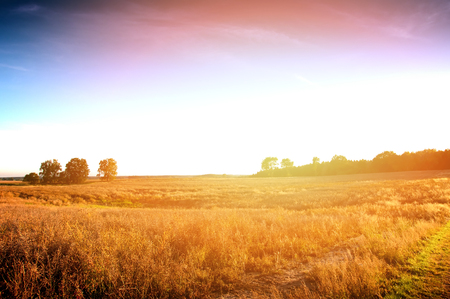 harvest field: Rape field almost ready to harvest Stock Photo